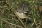 Ruby-crowned Kinglet foraging in Wildflower Meadow in October on fall migration.