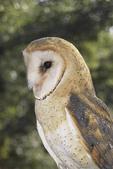 Barn Owl. CAPTIVE