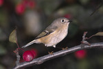 Ruby-crowend Kinglet in crabapple in October on fall migration.
