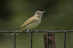 Red-eyed Vireo perched on a fence near the nest.
