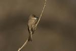 Eastern Phoebe in April on Spring Migration.