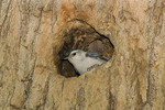 Male White-breasted Nuthatch at nest.