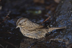 Lincoln's Sparrow in May on spring migration.