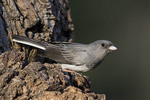 Dark-eyed Junco, Slate-colored race in March.