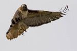 Red-tailed Hawk in flight.