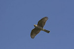 Sharp-shinned Hawk in flight on fall migration.