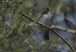 White-spectacled Bulbul.