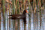 Adult Common Gallinule in December.