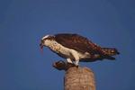 Osprey eating a fish.