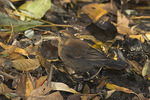 Female Rusty Blackbird in non-breeding plumage in mid-November on fall migration.