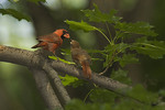 Male Northern Cardinal feeding a fledgling in early July. 