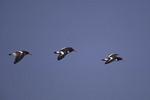 American Oystercatchers in flight in May.