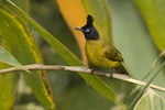 Black-crested Bulbul in bamboo.