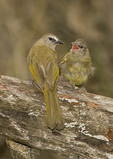 Adult and fledgling Flavescent Bulbuls.