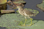 Adult Chinese Pond Heron in non-breeding plumage.