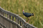 Purple Swamphen perched on the boardwalk.