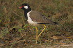 Red-wattled Lapwing.