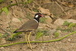Red-wattled Lapwing along the road.