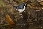 Male Siberian Blue Robin.