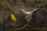 Immature male Siberian Blue Robin.