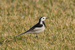 White Wagtail.