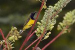 Male Olive-backed Sunbird in Red Bean Climber in mid-February.