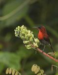 Male Crimson Sunbird in Red Bean Climber (Casealpinia latisiliqua) in mid-February.