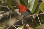 Male Temminck's Sunbird in early March.