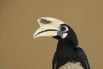 Male Oriental Pied Hornbill.