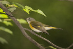 Immature male American Redstart on fall migration in late August. 