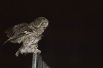 Gray morph Eastern Screech-Owl perched on a fence near Delacorte Theater exercising its wings before flying off to hunt. The project to re-introduce Eastern Screech-Owls to Central Park began in 1998.