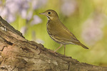 Ovenbird in early May on spring migration.