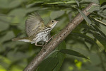 Ovenbird in early September on fall migration.