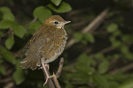 Fledgling Wood Thrush one week after leaving the nest.
