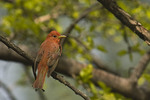 Male Summer Tanager molting into adult plumage in May on spring migration.