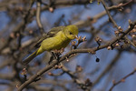 Western Tanager in crabapple in late March. Central Park. New York, NY. March 29, 2008. This western species is a rare vagrant in New York State.