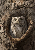 Gray morph Eastern Screech-Owl at roost in January.