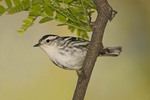 Female Black-and-white Warbler in early May on spring migration.