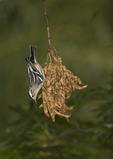 First fall female Black-and-white Warbler investigates a clump of oak leaves in mid-September.