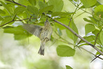 Female Black-throated Blue Warbler hovering under a hawthorn leaf to search for insects on spring migration in mid-May.