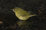 Tennessee Warbler on fall migration in September.