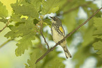 Female Yellow-rumped Warbler foraging in a Turkey Oak (Quercus cerris) in late May on spring migration.