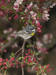 First spring male Yellow-rumped Warbler in crabapple on spring migration in late April.