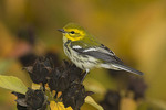 Adult female Black-throated Green Warbler perching on seed heads of Swamp Rose Mallow (Hibiscus palustris) in late September on fall migration.