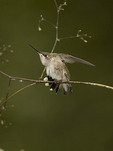 First fall female Ruby-throated Hummingbird stretching on fall migration in late September.