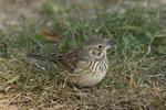 Vesper Sparrow in October on fall migration.