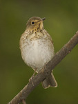Swainson's Thrush in May on spring migration.