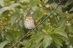 Swainson's Thrush in crabapple in early October on fall migration.