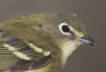 Blue-headed Vireo in early October on fall migration. Wildlife Conservation Society (Bronx Zoo) Banding Station. CAPTIVE.