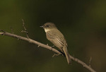 Eastern Phoebe in early October on fall migration.